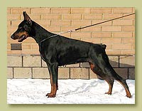 Dobermann Smart Wood Hills Beylis