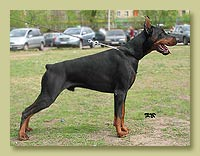 Dobermann Smart Wood Hills Dexter