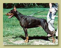 Dobermann Smart Wood Hills Ecstasy