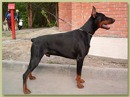 Dobermann Smart Wood Hills Insight