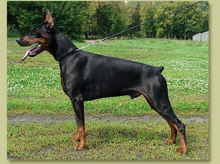 Dobermann Smart Wood Hills Oberon