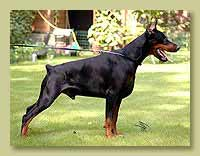 Dobermann Pimm's Number One iz Doma Domeni