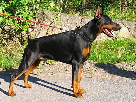 Dobermann Livonijas Baron Hero Hieronimus