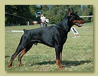 Dobermann Smart Wood Hills Absolut (SWH Yusoop x SWH Esmir)