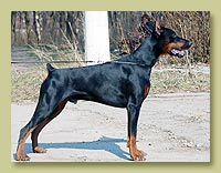 Dobermann Smart Wood Hills Alvar (Smart Wood Hills Ellington Garri  x Smart Wood Hills Korsika)