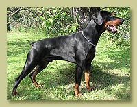 Dobermann Smart Wood Hills Anteus (Smart Wood Hills Ellington Garri  x Smart Wood Hills Korsika)