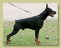 Dobermann Smart Wood Hills Ellington Garry (Nestor iz Zoosfery x SWH Italica)