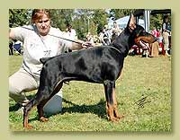Dobermann Smart Wood Hills Hammer (Livonijas Baron Hero Hieronimus x SWH Ecstasy)