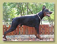 Dobermann Smart Wood Hills Indiana Jones (Smart Wood Hills Ellington Garri  x Zhemchuzhina Chernozemija Zhenevieva)