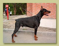 Dobermann Smart Wood Hills Insight (Nestor iz Zoosfery x SWH Esmir)