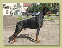 Dobermann Smart Wood Hills  Lancer (SWH Elisir x SWH Tigridia)