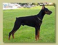 Dobermann Smart Wood Hills  Norfolk (Tahi Reme Gerett x SWH Pilar)