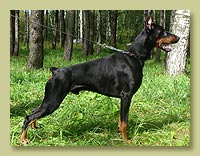 Dobermann Smart Wood Hills  Pagero (Smart Wood Hills Ellington Garry x Galanthus Nobilis Venezuela)