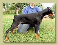 Dobermann Smart Wood Hills  Platini (Smart Wood Hills Ellington Garry x Galanthus Nobilis Venezuela)