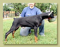 Dobermann Smart Wood Hills  Premium (Smart Wood Hills Ellington Garry x Galanthus Nobilis Venezuela)