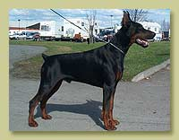 Dobermann Smart Wood Hills Rafael (S'Lichobor Fantom x SWH Marsela)