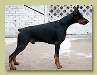Dobermann Smart Wood Hills  Respect Reebok (Livonijas Baron Hero Hieronimus x Dea Doloris v. Alpha Nordic)