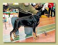 Dobermann Smart Wood Hills  Surf (Livonijas Baron Hero Hieronimus x Smart Wood Hills Italica)