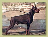 Dobermann Smart Wood Hills Tiger (Jivago v.h. Wantij x SWH Yuola)