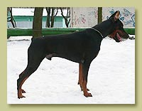Dobermann Smart Wood Hills Tref (Pimm's Number One iz Doma Domeni x Smart Wood Hills Indiana Femma)