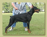 Dobermann Smart Wood Hills Ultra-Gerts (Pathos delle Querce Nere x SWH Beretta)