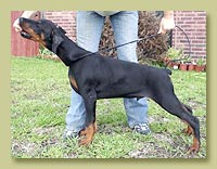 Dobermann Smart Wood Hills Vojager (Smart Wood Hills Ellington Garry x Smart Wood Hills Tigridia)