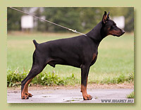 Dobermann Smart Wood Hills X-Trail (S'Lichobor Deodar x Smart Wood Hills Integra)