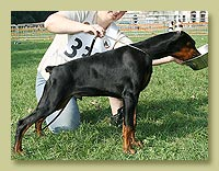 Dobermann Smart Wood Hills Yeronimus (Livonijas Baron Hero Hieronimus x Smart Wood Hills Beylis)
