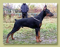 Dobermann Smart Wood Hills Yunker (Livonijas Baron Hero Hieronimus x Smart Wood Hills Beylis)