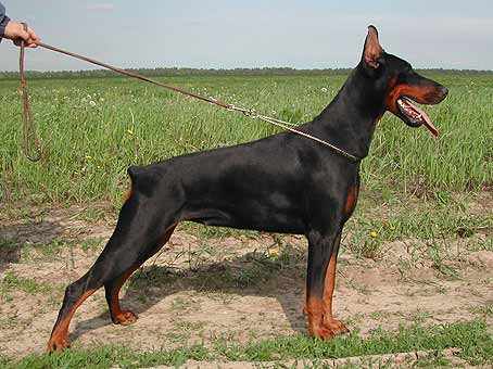 Smart Wood Hills Tigridia (Jivago v.h.Wantij x Smart Wood Hills Ecstasy)