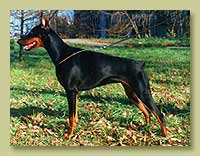 Dobermann Smart Wood Hills Yutisia